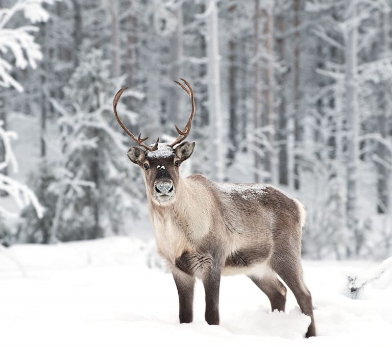 THE MYSTERY CULT OF THE REINDEER